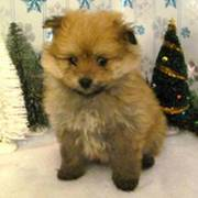 Emma-Pomeranian/ Bichon