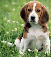 Lovely Beagle puppies for good and caring home