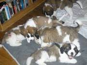 Two Males and Females Saint Bernard pu available,  ready for Christmas
