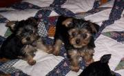 CUTE KC Yorkshire Terrier PUPPY FOR SALE