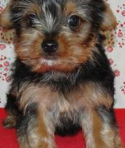 adorable AKC registered yorkie in need of a good home