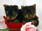 Lovely baby face yorkie babies for adoption