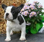 french bull dogs for sale