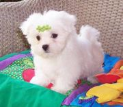 Maltese are special little creatures, For Adoption